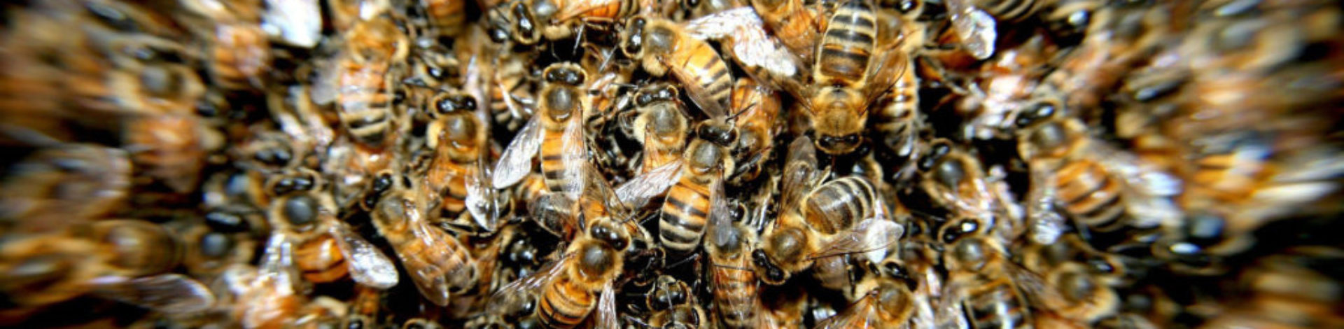 bees-276190_1920